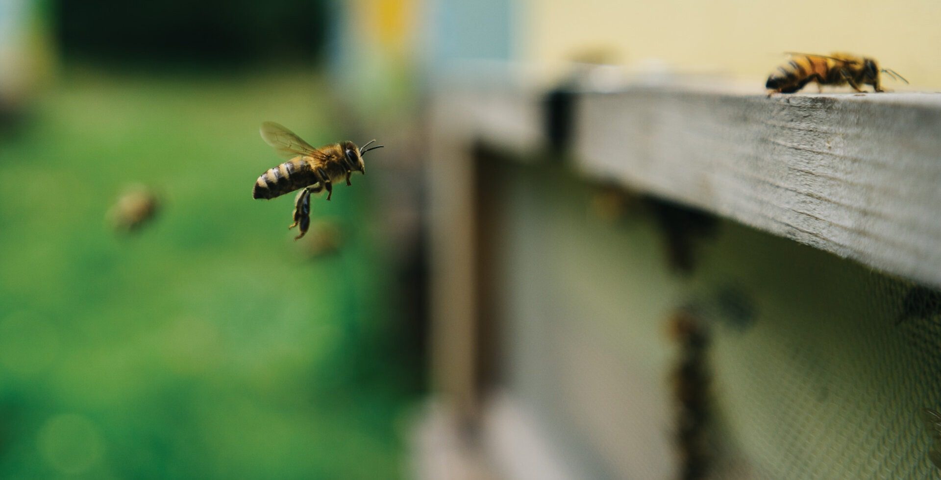 A handful of Michael Jaross' honeybee colonies live behind the Dollar Lot, off Galbraith Lane, and thrive on the Himalayan blackberries and fireweed flowers nearby.